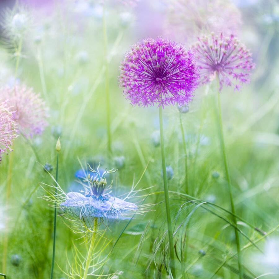 Allium and Nigella