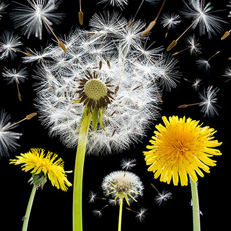 Dandelion flowers and seeds