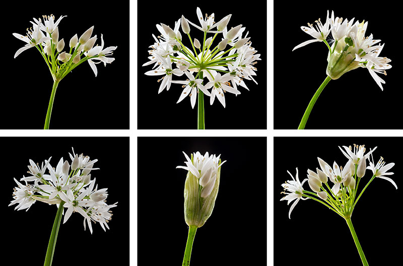 Wild Garlic Coasters set of six