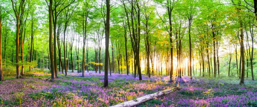 Micheldever Bluebell Wood photographic point on canvas